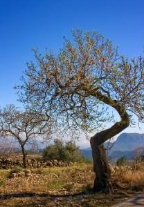 Wanderwochen Spanien, Mandelbaum