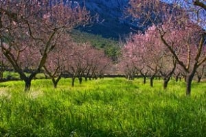 hiking holidays Spain, almonds in bloom, picture Max Getz Spain
