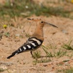 Birding Costa Blanca, Hoopo (Upupa epops)