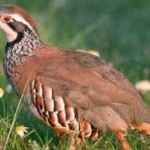 Birding breaks Spain, Red-legged partridge (Alectoris rufa)