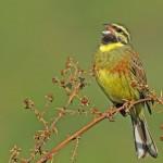 Cirl bunting, bird observation Spain
