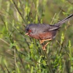 The dartford Warbler an observation during Costa Blanca birding