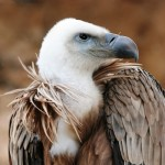 Alicante birding, the griffon vulture a great observation