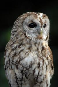 Birding Spain, Tawny owl