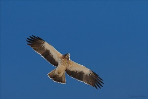 The booted eagle one of the many Spanish bird species