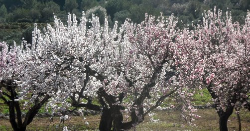 Village Costa Blanca, almonds in bloom