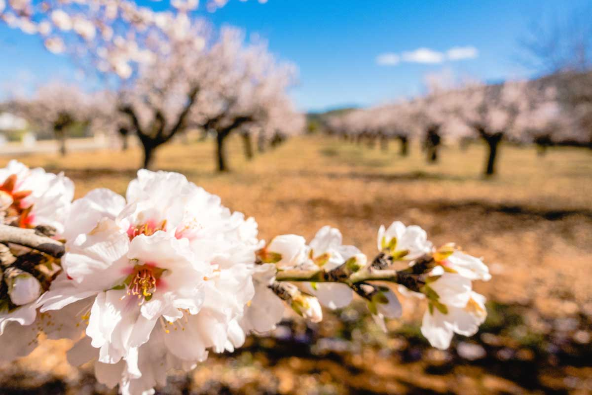 Almond blossom in the Jalon Valley
