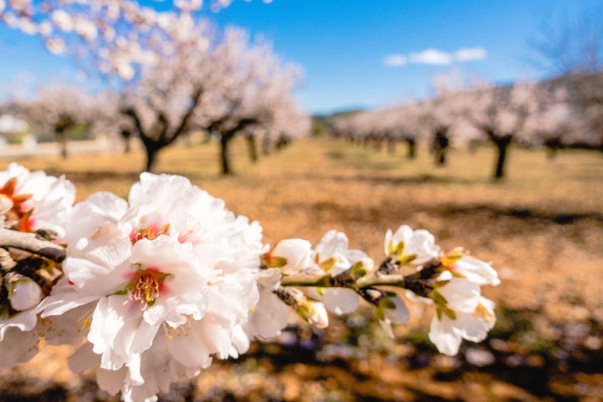 el valle de jalon en plena flor