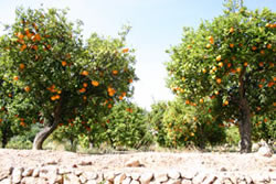 Orangen Anbau im nahe Alicante