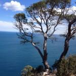 Een grove den en de middellandse zee,