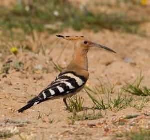 vogelen Spanje, hop (Upupa epops)
