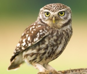 vogelen Spanje; Steenuil (Athene noctua)