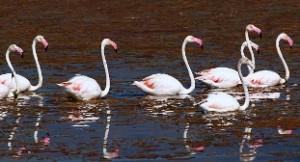 Vogelvakantie Spanje, Flamencos Calpe