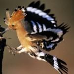 vogels kijken Spanje, de hop (Upupa epops)