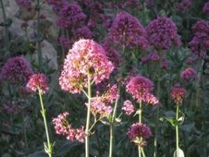 Valeriaan, een bloem die twee keer per jaar bloeit hier, wandel vakantie Spanje