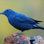 Blauwe rotslijster tijdens vogelen Costa Blanca