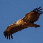 Een vogelvakantie Costa Blanca, de vale gier een zeer zeldzame maar prachtige waarneming