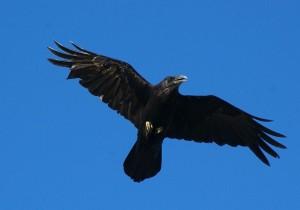 vogelen alicante, de raaf een observatie tijdens je vogelvakantie in Spanje