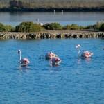 Vogelgebieden Alicante, flamencos in de Salinas van Santa Pola