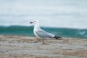 Vogelvakantie Alicante, Audouins meeuw