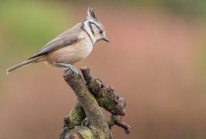 Een vogelobservatie in Spanje, de kuifmees