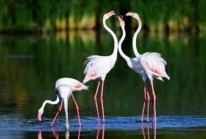 vogels spanje, de flamingo een observatie aan de kusten van Spanje