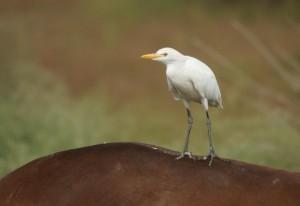 vogelen Spanje, de koereiger