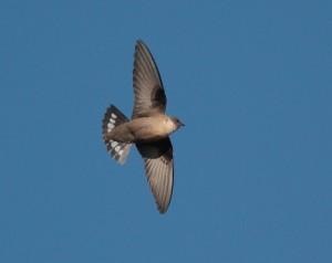 De rotszwaluw een waarneming aan de Costa Blanc Spanje, vogelen buitenland