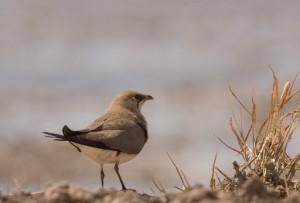 Vogelgebied Alicante, Vorkstaartplevier