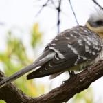 De kuifkoekoek een observatie tijdens Spanje vogelvakantie