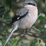 Zuidelijke klapekster een waarneming tijdens je birding break Spanje